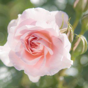 roses corinne-6046